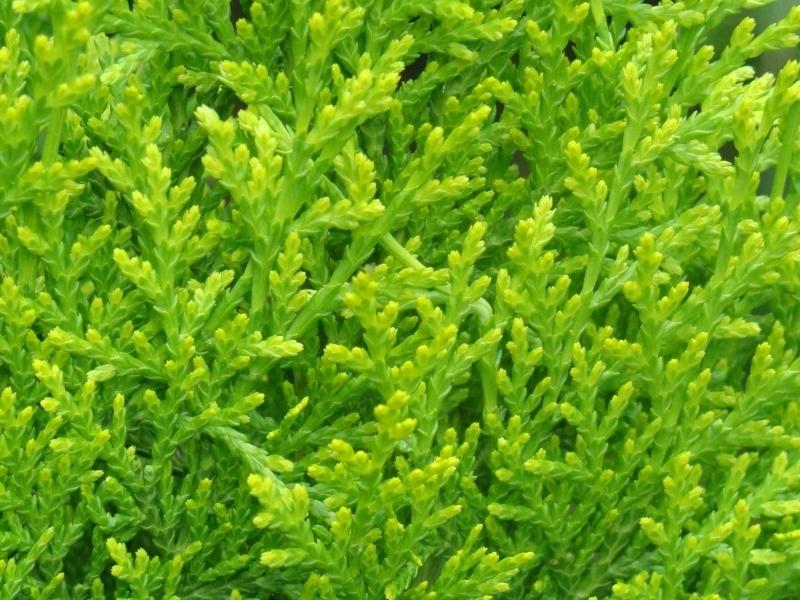Tuin Hagen Soorten : Coniferen tuintips conings garden tuin en interieurinrichting