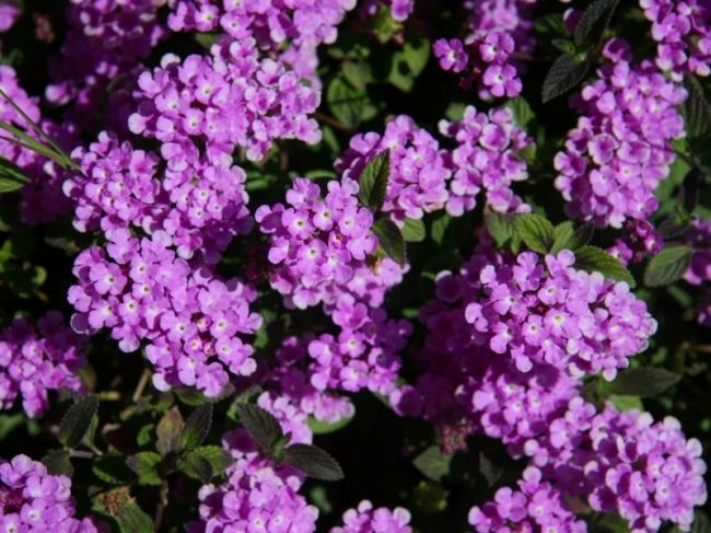 Vaste Planten Tuin : Vaste planten artikelaanbod conings garden tuin en